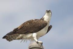 Ascendente cercano del Osprey, parque nacional de los marismas Foto de archivo