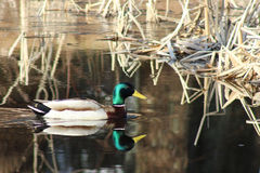 Ascendente cercano del pato silvestre Imagen de archivo libre de regalías