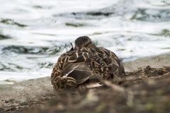 Ascendente cercano del pato silvestre Foto de archivo libre de regalías