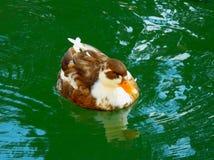Ascendente cercano del pato silvestre Fotos de archivo