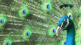 Ascendente cercano del pavo real almacen de metraje de vídeo