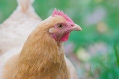 Ascendente cercano del pollo Imagen de archivo libre de regalías