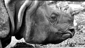 Ascendente cercano del rinoceronte Fotografía de archivo