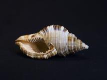 Ascendente cercano del Seashell Fotografía de archivo libre de regalías