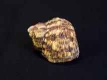Ascendente cercano del Seashell Foto de archivo libre de regalías
