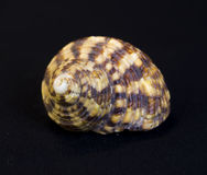 Ascendente cercano del Seashell Fotos de archivo