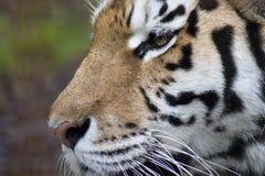 Ascendente cercano del tigre fotos de archivo libres de regalías