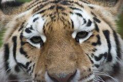 Ascendente cercano del tigre imágenes de archivo libres de regalías
