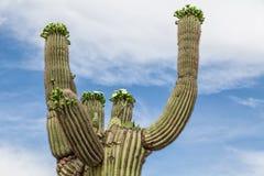 Ascendente cercano floreciente del Saguaro Imagenes de archivo