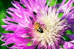 Ascendente cercano púrpura del aciano y de la abeja Foto de archivo libre de regalías