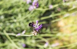 Ascendente cercano y abeja de la lavanda Imagenes de archivo