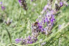 Ascendente cercano y abeja de la lavanda Fotografía de archivo libre de regalías