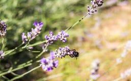 Ascendente cercano y abeja de la lavanda Imagen de archivo libre de regalías