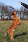 Ascendente obediente del perro Imagen de archivo libre de regalías