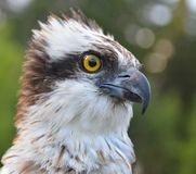 Ascendente próximo da águia pescadora fotos de stock royalty free