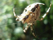 Ascendente próximo da aranha Fotos de Stock