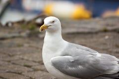 Ascendente próximo da cabeça e do corpo da gaivota de arenques imagens de stock