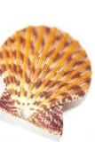 Ascendente próximo da concha do mar - shell de vieira Imagem de Stock