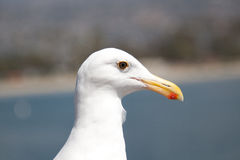 Ascendente próximo da gaivota Fotografia de Stock