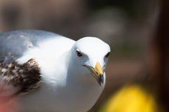Ascendente próximo da gaivota Imagens de Stock Royalty Free