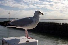 Ascendente próximo da gaivota Fotos de Stock