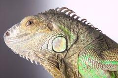 Ascendente próximo da iguana Fotografia de Stock