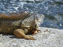 Ascendente próximo da iguana Imagem de Stock