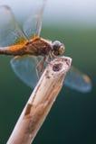 Ascendente próximo da libélula Foto de Stock