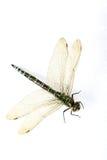 Ascendente próximo da libélula Fotografia de Stock Royalty Free