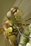 Ascendente próximo da libélula Imagens de Stock