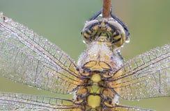 Ascendente próximo da libélula Fotografia de Stock