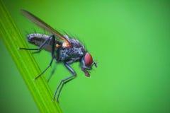 Ascendente próximo da mosca Fotografia de Stock