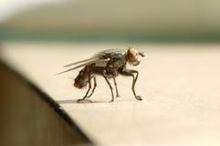 Ascendente próximo da mosca Imagem de Stock Royalty Free