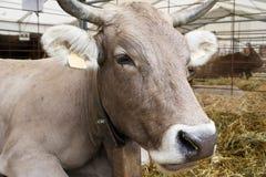 Ascendente próximo da vaca foto de stock