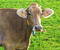 Ascendente próximo da vaca Imagens de Stock Royalty Free