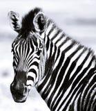 Ascendente próximo da zebra imagem de stock