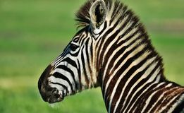 Ascendente próximo da zebra imagens de stock royalty free