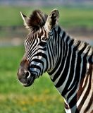 Ascendente próximo da zebra foto de stock