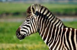 Ascendente próximo da zebra fotos de stock royalty free