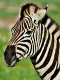 Ascendente próximo da zebra fotos de stock