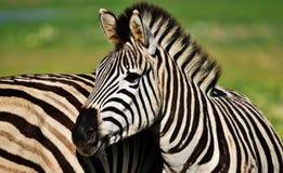 Ascendente próximo da zebra fotografia de stock