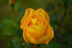 Ascendente próximo de florescência alaranjado da rosa Imagem de Stock