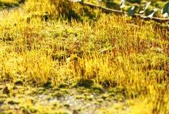 Ascendente próximo de florescência bonito do musgo útil como o fundo Foto de Stock Royalty Free