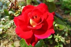 Ascendente próximo de florescência vermelho da rosa Imagens de Stock