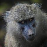 Ascendente próximo do babuíno imagem de stock royalty free