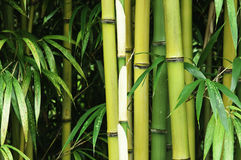 Ascendente próximo do bambu Imagens de Stock Royalty Free