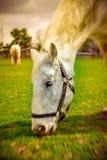 Ascendente próximo do cavalo Imagem de Stock Royalty Free