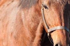 Ascendente próximo do cavalo Foto de Stock Royalty Free
