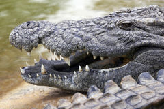 Ascendente próximo do crocodilo Fotos de Stock