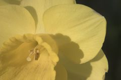 Ascendente próximo do Daffodil Fotografia de Stock